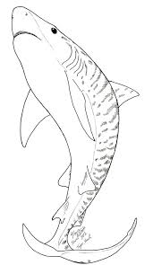 tiger shark coloring page shark coloring pages pinterest