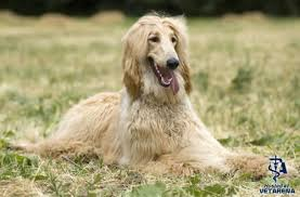 afghan hound weight afghan hound complete breed information and photos