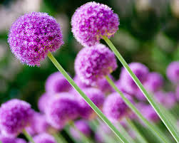 allium flowers allium tattoo ideas inspiration flowers as a symbol