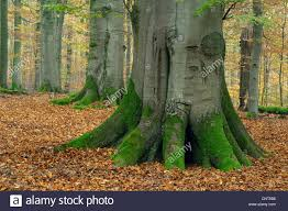 common beech fagus sylvatica forst in autum with thick