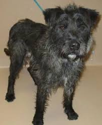 affenpinscher terrier mix adopt molly on schnauzer mix irish terrier and pointer rescue
