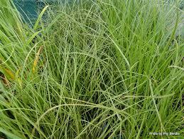 native plant project carex secta u2013 pukio makura grass purei grasses rushes and