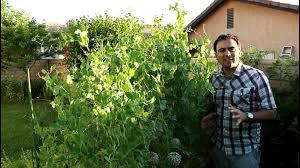 growing peas in southern california youtube