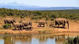 free photo herd of elephants elephant animals max pixel