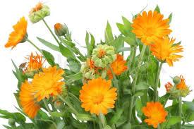calendula flowers bushes of orange calendula flowers background selective focus