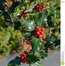 christmas holly tree closeup of red berries and green leaves stock