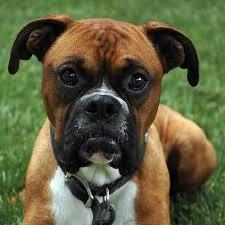 boxer dog mean dog behavior training mn a boxer u0027s story the dog whisperer of