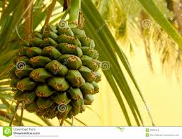 Palm Trees Fruit - seed pod of a palm tree royalty free stock images image 30065219