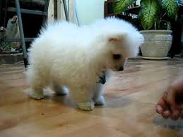 american eskimo dog or puppy for sale in mn really adorable toy size american eskimo puppy youtube
