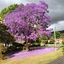 Tree With Purple Flowers Definitive Proof That Jacarandas Are The Most Beautiful Trees
