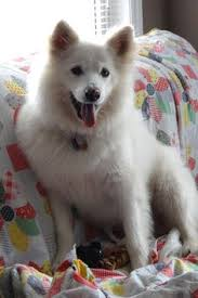 american eskimo dog london our dogs vannah and sugar they are american eskimo spitz minis