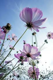 How To Take Care Of Flowers In A Vase Cosmos How To Plant Grow And Care For Cosmos Flowers The Old