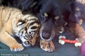 movies with australian shepherds in them australian shepherd adopts three tiger cubs daily mail online