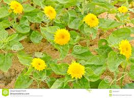 teddy sunflowers hybrid sunflowers helianthus annuus sungold teddy