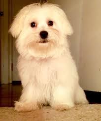 bichon frise x jack russell bichon frise maltese poodle shih tzu designer breeds puppy
