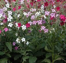 ornamental tobacco f2 mix seeds nicotiana x sanderae