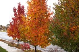 flowering pear tree pictures insured by