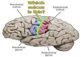 Human Ear Anatomy Quiz Brain Eye Ear Quiz Anatomy U0026 Physiology 210 With Dr Cox At