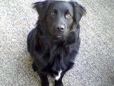 afghan hound and labrador retriever afador afghan hound x labrador retriever beautiful hybrid dogs