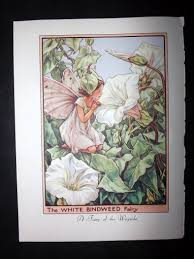 mary barker 1955 flower fairies print white bindweed u0026 winter jasmine