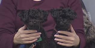 affenpinscher illinois circle of change helping veterans and dogs