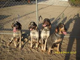 bluetick coonhound reviews regal c coonhounds home facebook