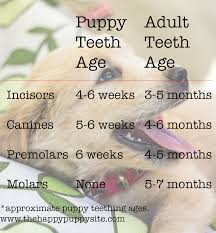 Dog Tooth Anatomy Puppy Teeth And Teething What To Expect The Happy Puppy Site