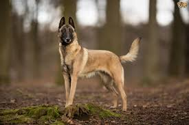belgian shepherd breeds four interesting insights into the belgian malinois dog breed