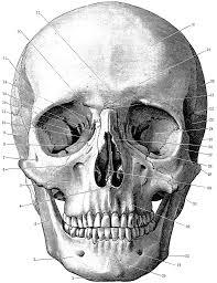 Halloween Skull Drawings Http Etc Usf Edu Clipart 54600 54655 54655 Skull Lg Gif