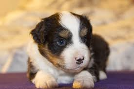 australian shepherd 4 weeks old post exposure one studios