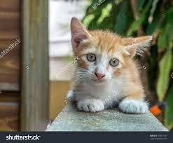 little cute golden brown kitten sit stock photo 493971007