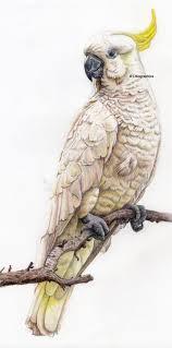 548 best birds images on pinterest australian birds clip art