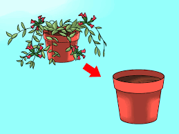 How To Revive A Plant How To Care For A Lipstick Plant 9 Steps With Pictures