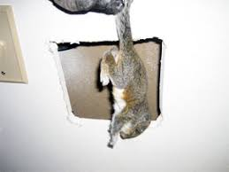 Squirrel In Basement by Squirrels In House What Should You Do To Eliminate Them