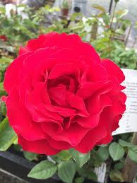 heart song kortrinka u2013 northland rosarium