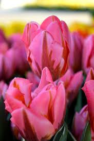 tulip pretty princess flower bulbs dutchgrown