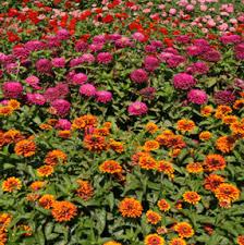 zinnias u2013 wisconsin horticulture