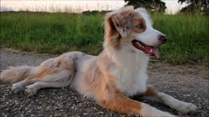 a mini australian shepherd mini aussie moon youtube