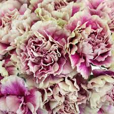 carnations flowers pink and carnation flowers