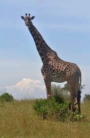 free stock photo of giraffe kenya tallest