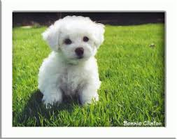 cost of a bichon frise home