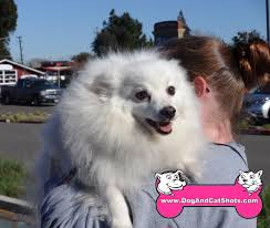 american eskimo dog jack russell mix low cost dog and cat shots in northern california midtown micro