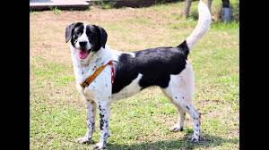 australian shepherd and beagle mix beagle lab mix beagador characteristics appearance and pictures