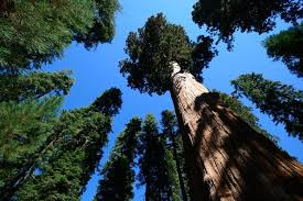 what is the world s tallest tree tallest tree in world