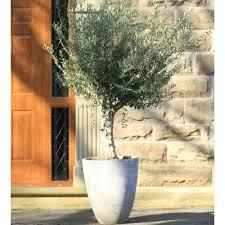 Sand Vase Olive Tree With Sand Vase Planter Garden Street