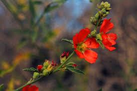 arizona flowers arizona flowers by theowletteguardian15 on deviantart