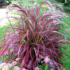 variegated purple grass finegardening