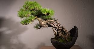 japanese of growing a miniature tree symbolism and meaning