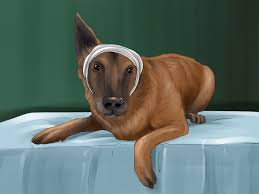 how to care for a dog u0027s torn ear with pictures wikihow