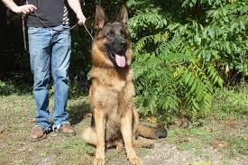 belgian sheepdog breeders michigan akc german shepherd puppies for sale german shepherd breeder mi
